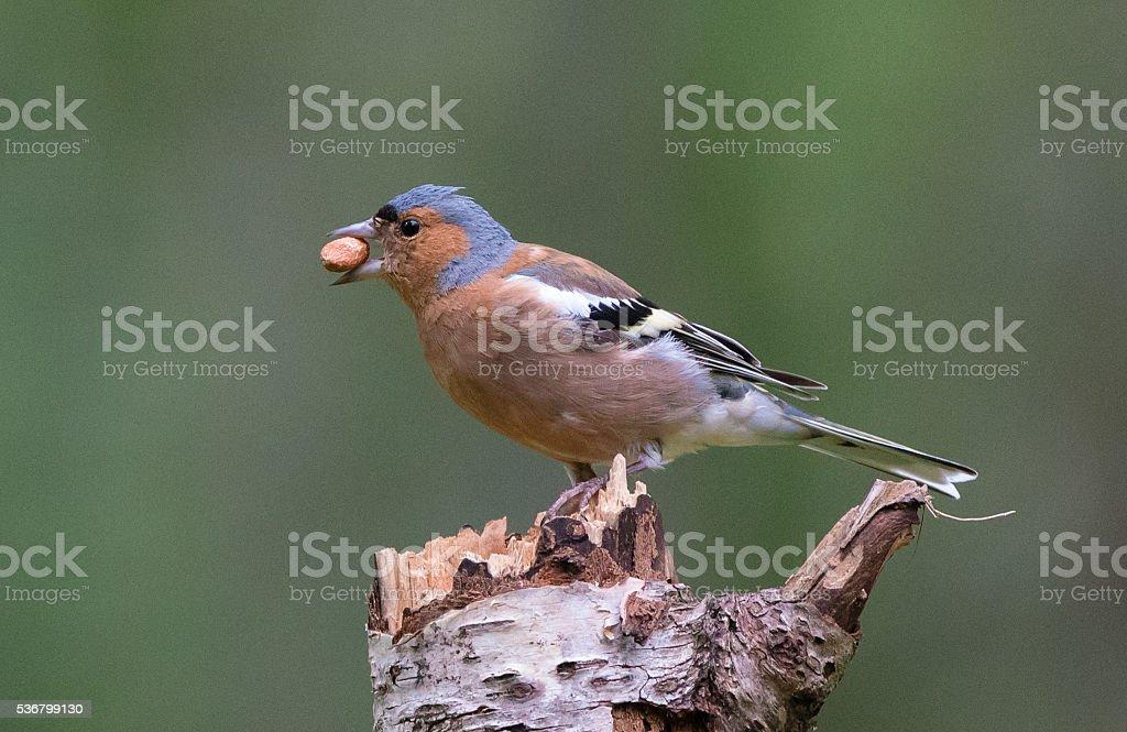 Chaffinch (Fringilla coelebs) eating a peanut stock photo