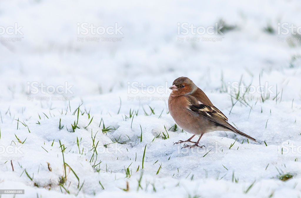 Chaffinch, Fringilla coelebs, (male) on snow stock photo
