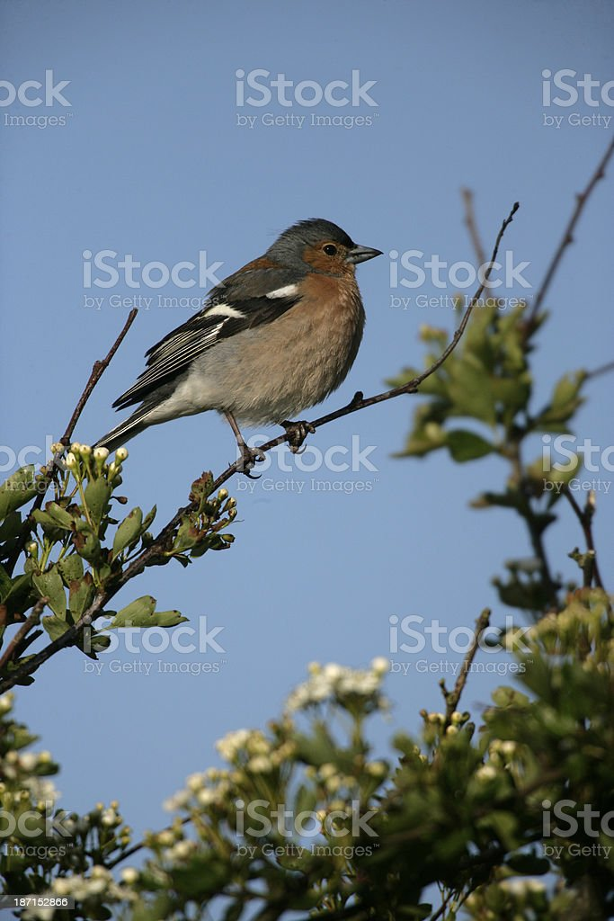 Chaffinch, Fringilla coelebs, royalty-free stock photo