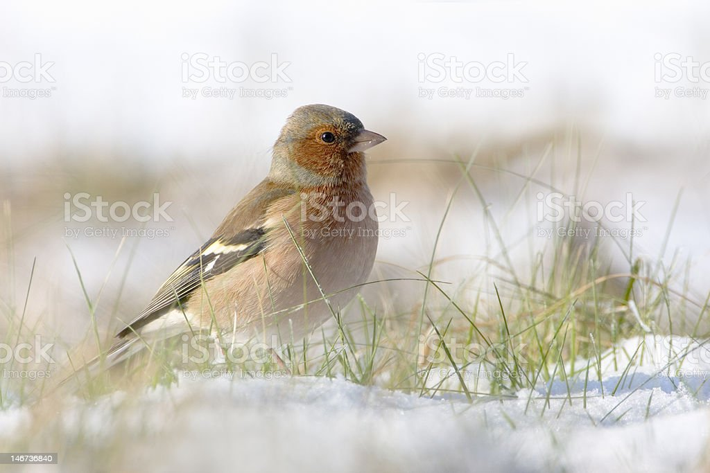 Chaffinch in the snow stock photo