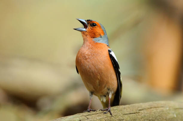 Chaffinch in the spring loudly sings, sitting on a fallen tree. Chaffinch in the spring loudly sings, sitting on a fallen tree. songbird stock pictures, royalty-free photos & images