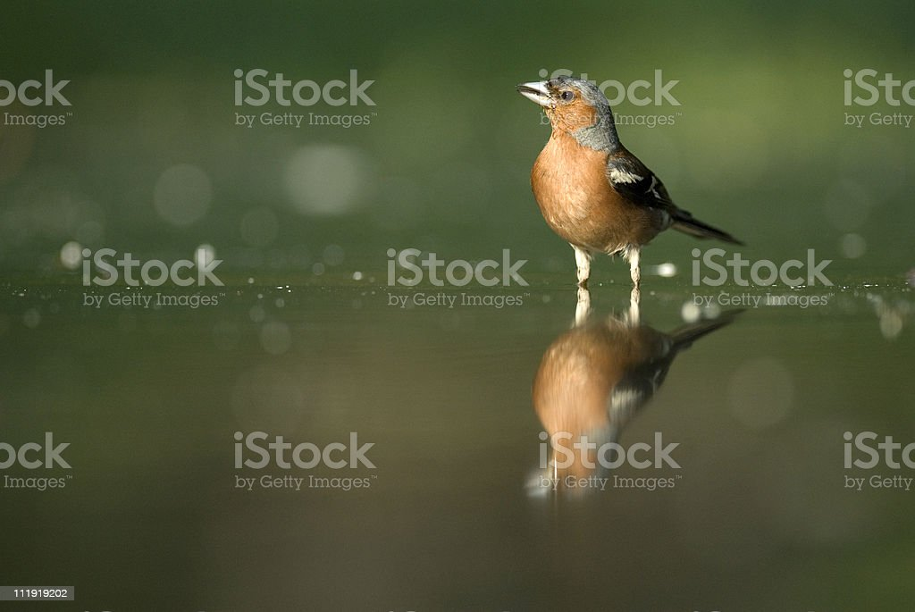 Chaffinch in the water with green background royalty-free stock photo