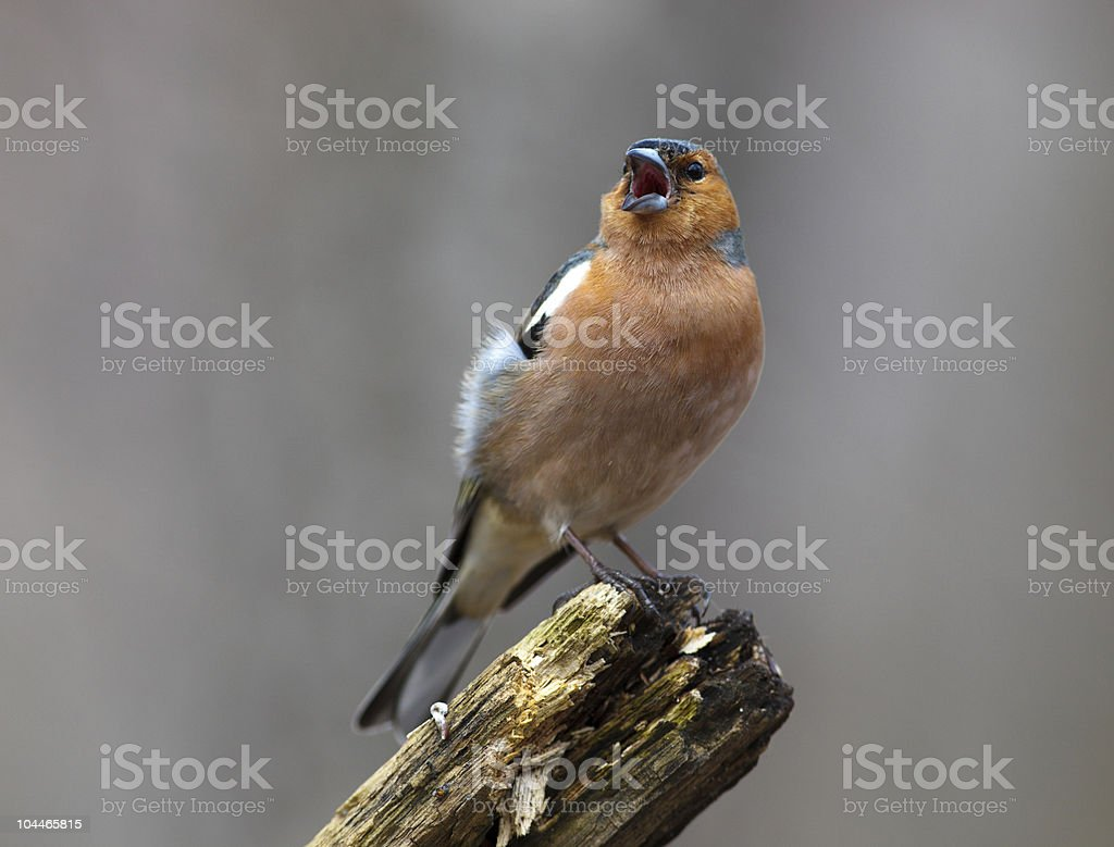 Chaffinch (Fringilla coelebs), male royalty-free stock photo