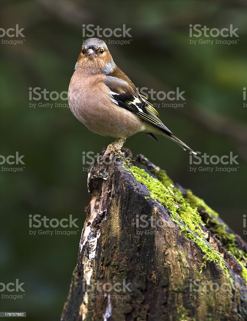 Chaffinch on Log stock photo