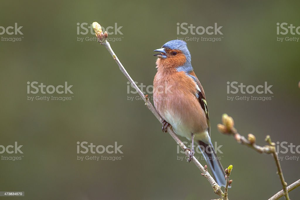 Chaffinch perched on a branch stock photo