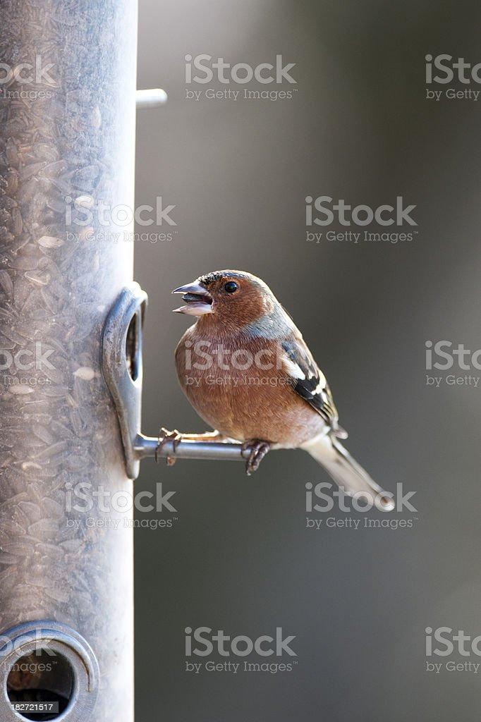 Chaffinch perching on bird feeder (Fringilla Coelebs) royalty-free stock photo