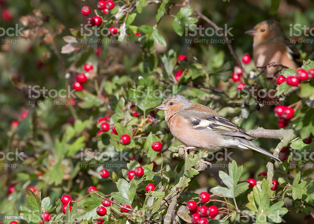 Chaffinch royalty-free stock photo