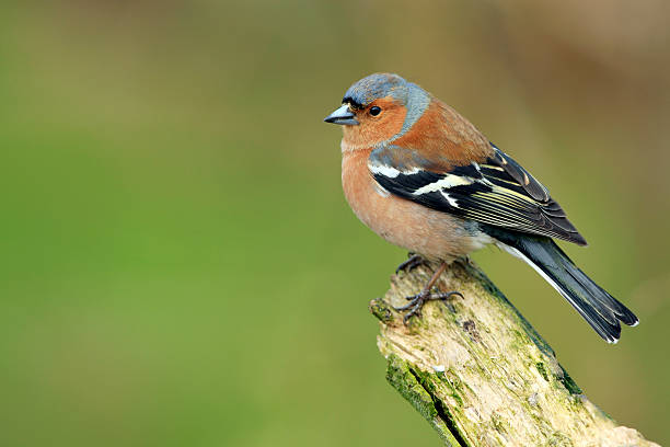 Chaffinch (Fringilla coelebs)  finch stock pictures, royalty-free photos & images
