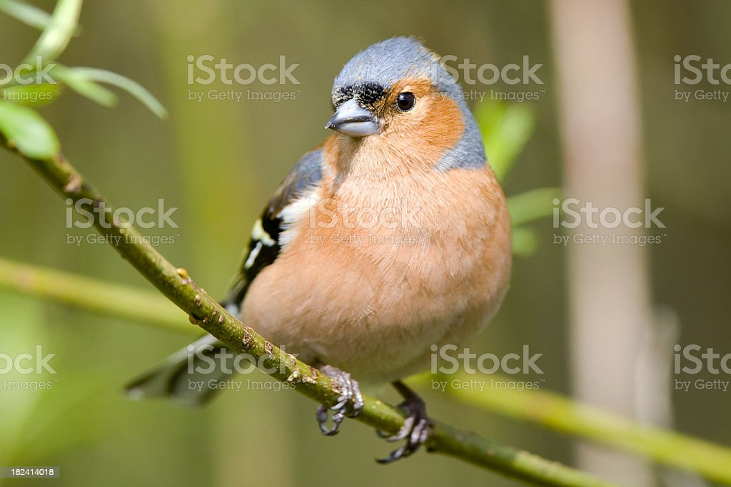 Chaffinch (Fringilla coelebs) royalty-free stock photo