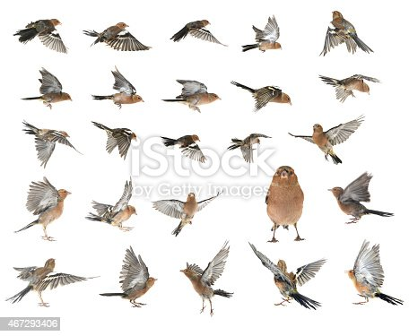 chaffinchs flight  on a white background