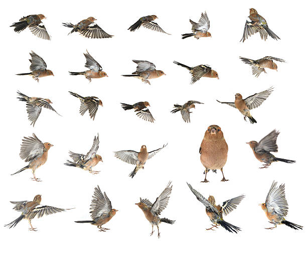 chaffinch chaffinchs flight  on a white background finch stock pictures, royalty-free photos & images