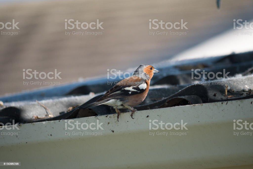Chaffinch stock photo
