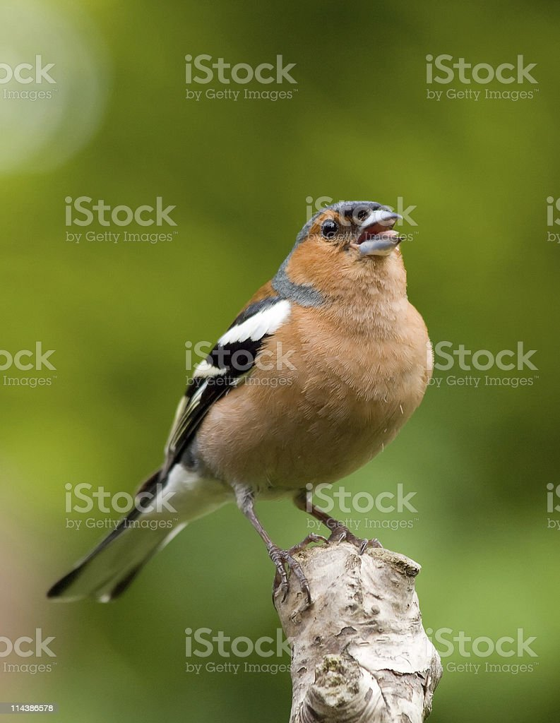 Chaffinch (Fringilla coelebs) Singing stock photo