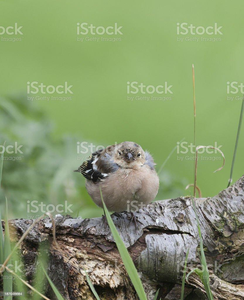 Chaffinch (Fringilla coelebs), Trichomoniasis stock photo