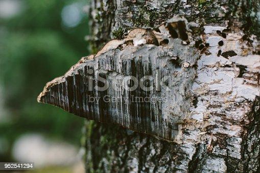 Fungus on old tree
