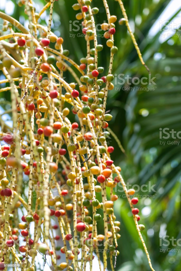 Chaguaramo fruits (Roystonea oleracea) stock photo