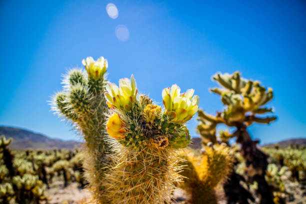 Chain Fruit Cholla Cactus in Joshua National Park, California A jumping cholla that looks like it attaches itself to anything that brushes by in Joshua National Park tucson stock pictures, royalty-free photos & images