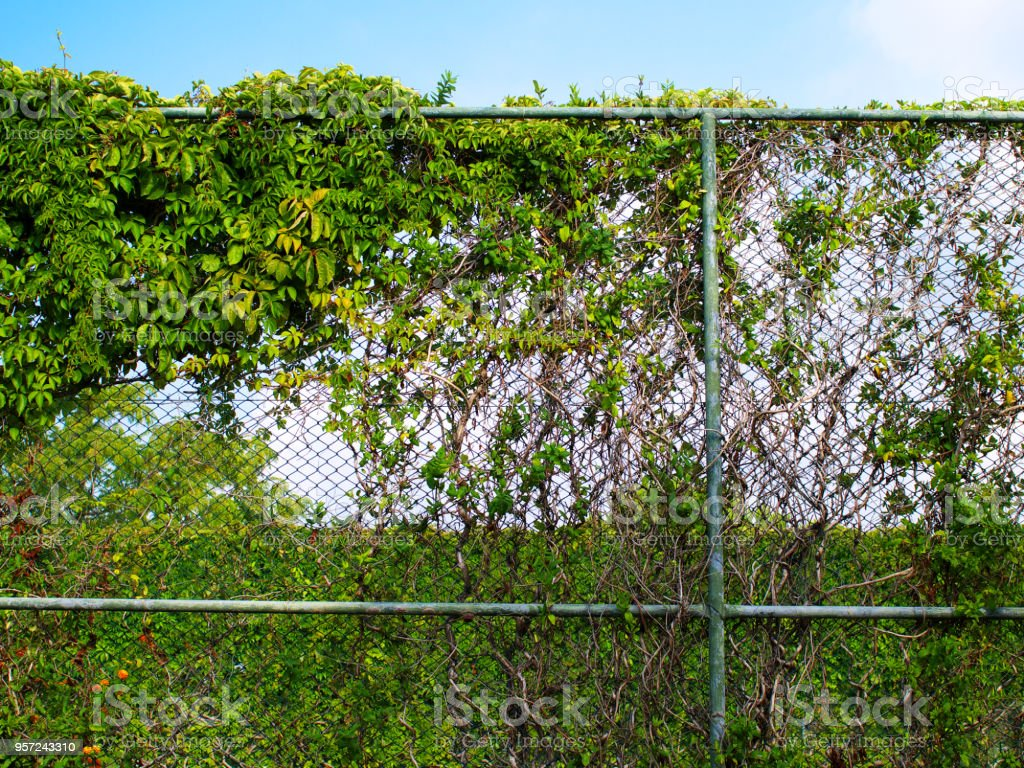 Chain Link Fence Covered By Climbing Vines Stock Photo Download