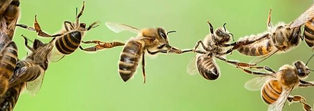 Chain of bees picture id489811212?b=1&k=6&m=489811212&s=612x612&w=0&h=rzcacfbj7jzqht6lsrllh6hfrnr0bogaomnxmcr8s5y=