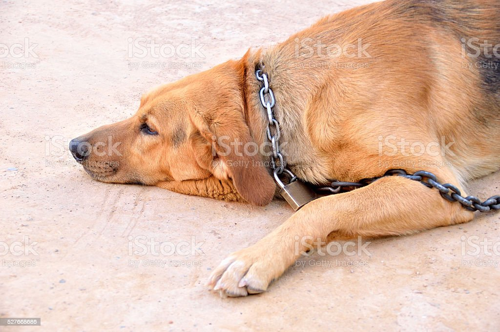 chained dog with padlock stock photo