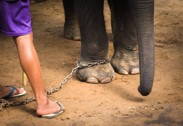 chained elephant feet and his mahout's feet. elephant and his keeper. - animals in captivity stock pictures, royalty-free photos & images