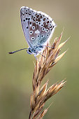istock Chalk Hill Blue Butterfly on a grass flower 898590180