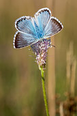 istock A Chalk Hill Blue Butterfly with wings open on a grass 898589896