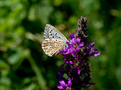 istock Chalkhill blue butterfly on flower. 837557242