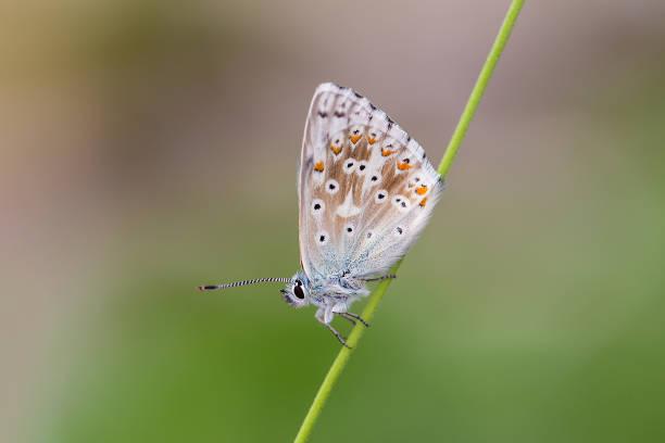 Chalkhill blue - Polyommatus (Lysandra) coridon stock photo