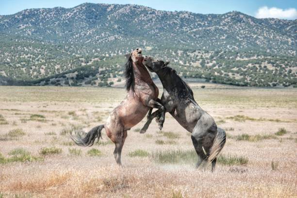 Challenging life of wild horses in america while mustangs fight for picture id984289354?b=1&k=6&m=984289354&s=612x612&w=0&h=imi3tq4y1tc10ycqcnug1a44clrq1kvl8vxb2ohanek=