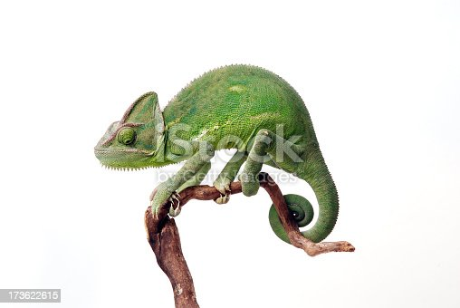 A female a Veiled chameleon sitting on a branch. White background.