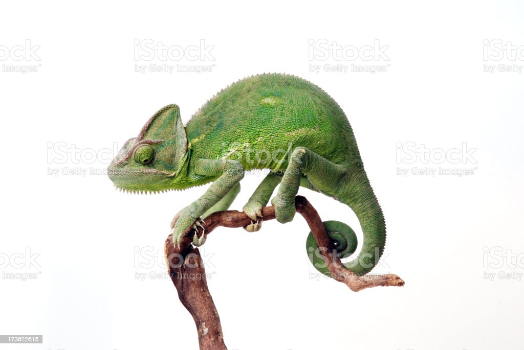 Chamaeleon calyptratus stock photo