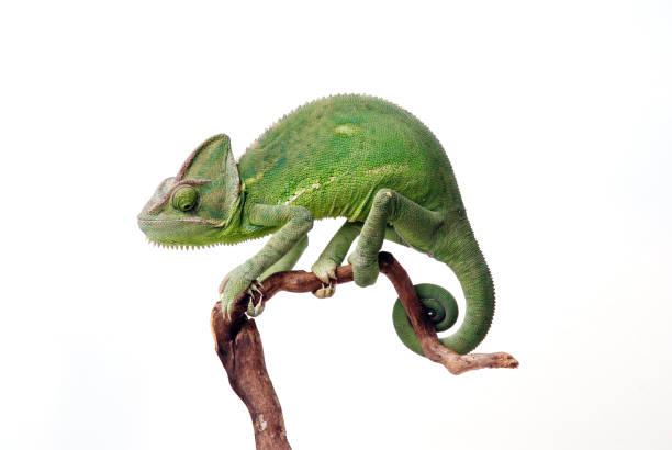 chamaeleon calyptratus - kameleon zdjęcia i obrazy z banku zdjęć