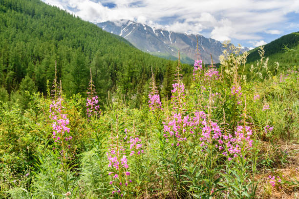 chamaenerion angustifolium on mountain. view of north-chuiskiy range. altai republic, russia - państwowy rezerwat przyrody altay zdjęcia i obrazy z banku zdjęć