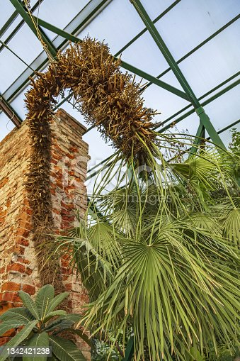 istock Chamaerops Humilis. Monotypic genus of fan palms 1342421238