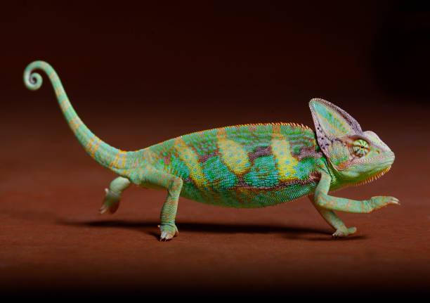 chamaleon - animaux familiers exotiques photos et images de collection