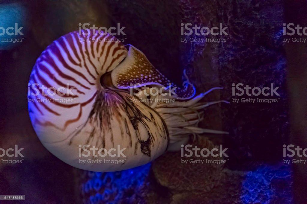 Chambered nautilus, California stock photo