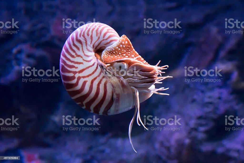 chambered nautilus jetting stock photo