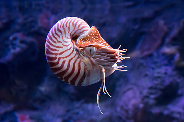 chambered nautilus jetting - nautilus stock pictures, royalty-free photos & images