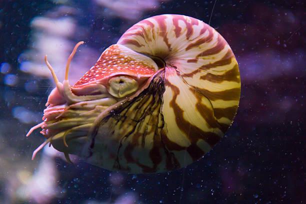 nautilus pompilius - weichtiere stock-fotos und bilder