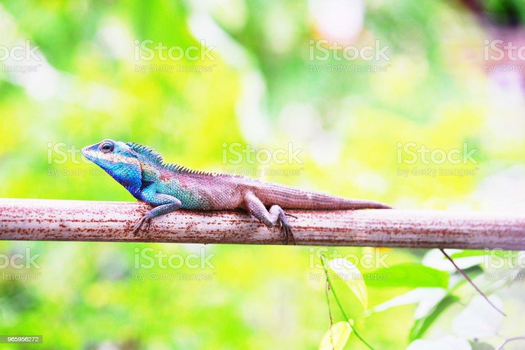Kameleon dier - Royalty-free Diep Stockfoto