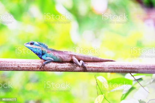 Chameleon Animal Stock Photo - Download Image Now