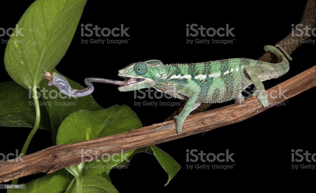 Chameleon catches cricket with tongue stock photo