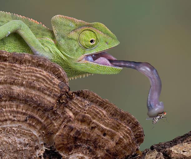chameleon catches fly with his tongue - tongue stock pictures, royalty-free photos & images