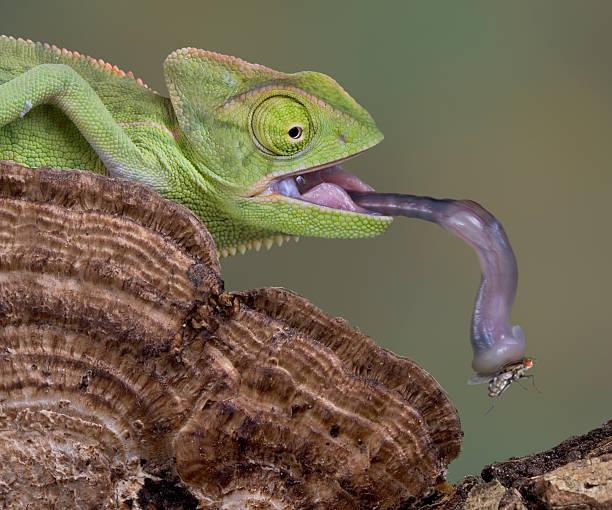 chameleon połowów poleć z jego język - kameleon zdjęcia i obrazy z banku zdjęć