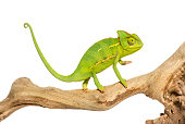 Chameleon, Chamaeleo chameleon, on branch in front of white background