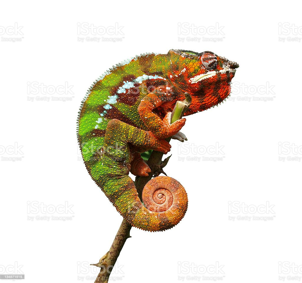Chameleon - Furcifer Pardalis stock photo
