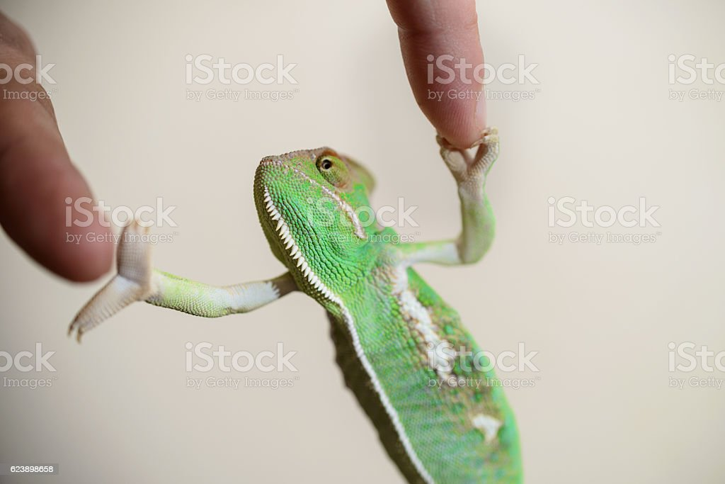 Chameleon handshake stock photo