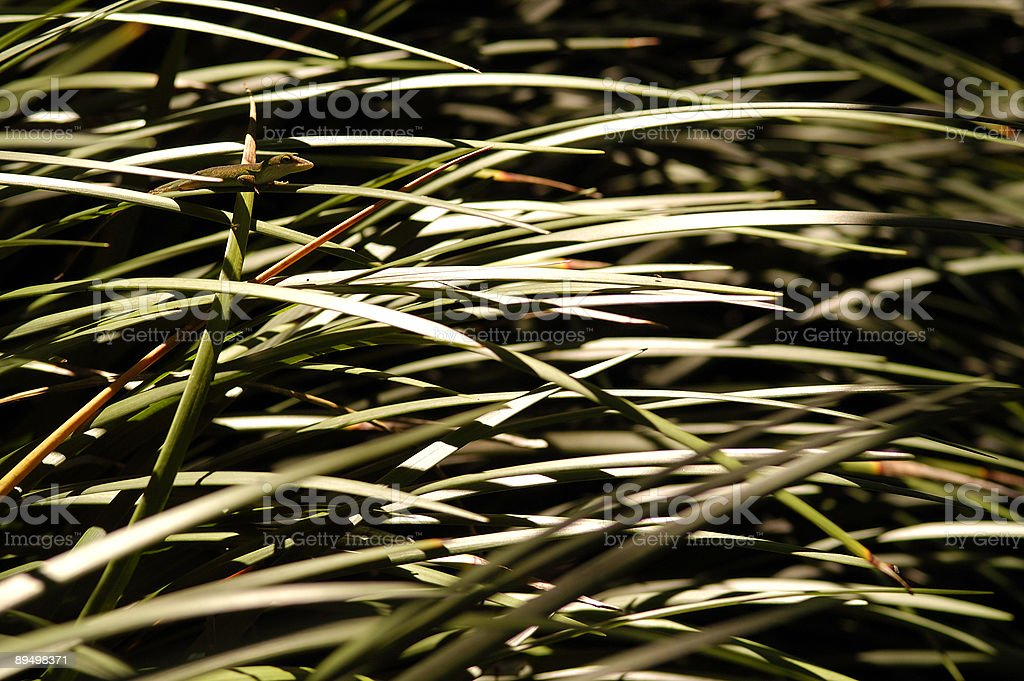 Chameleon hidden in tall  green grass royalty-free stock photo