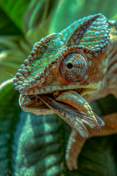 Chameleon hunts insects in the wild nature of Madagascar stock photo